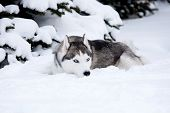 stock photo of husky  - Young Husky on the white snow background - JPG