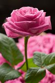 image of pink rose  - Pink rose with drops of water over other roses - JPG