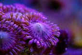 Macro Shot On Rose Pink Stardust Zoanthus Polyps Colony poster