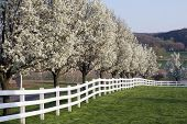 picture of dogwood  - Row of Dogwood Trees blossoming in spring season - JPG