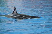 pic of orca  - Dorsal Fin of a Killer Whale or Orca Whale  - JPG