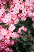 Beautiful Detail Of Scented Botanical Garden Flowers poster
