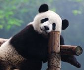 stock photo of pandas  - Closeup of giant panda bear looking right into the camera - JPG