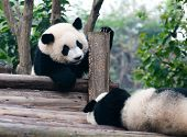 picture of mating bears  - Two giant panda bears come to play - JPG