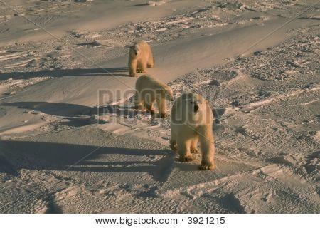 Polar Bears In Cold Blue Arctic Light