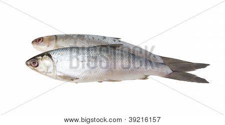 Fresh water fish whitefish