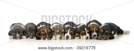litter of puppies - eight basset hound puppies laying down lined up in a row - 3 weeks old