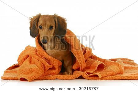 dog bath - long haired dachshund being dried off with orange towel on white background
