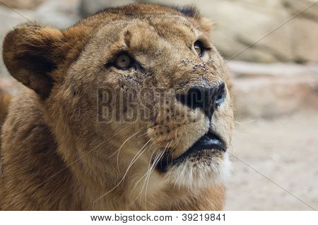 Surprised lion