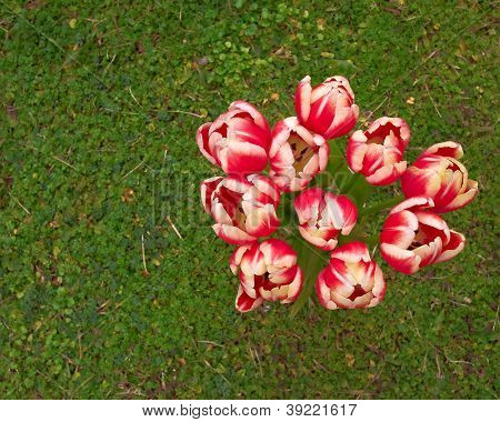 dark pink and white tulips bouquet on green grass