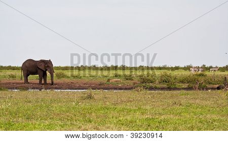 Single Elephant Standing At Waterhole
