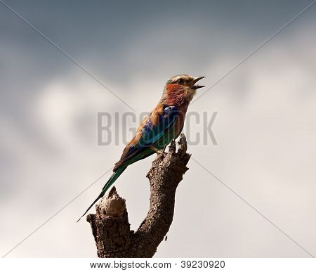Lilac Breasted Roller Sitting On A Perch