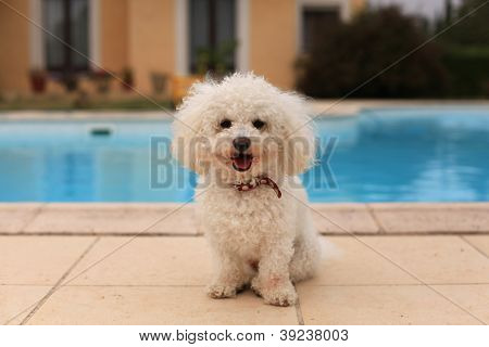 Dog by the pool