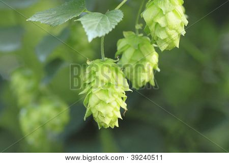 Green Hops In  Summer