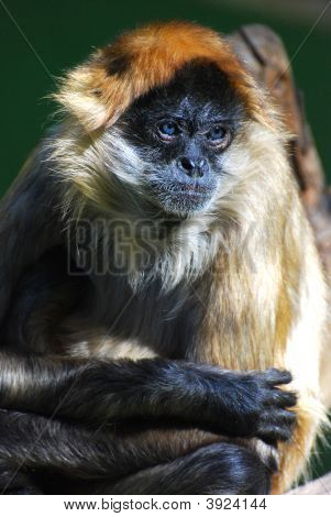 Blue Eyed Monkey Meditating