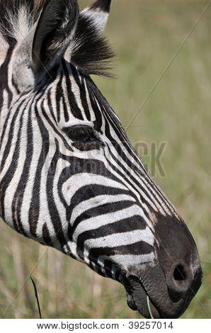 Zebra Looking Smart