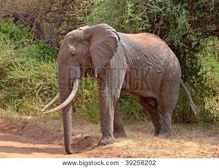 Big Male Elephant Crossing The Road