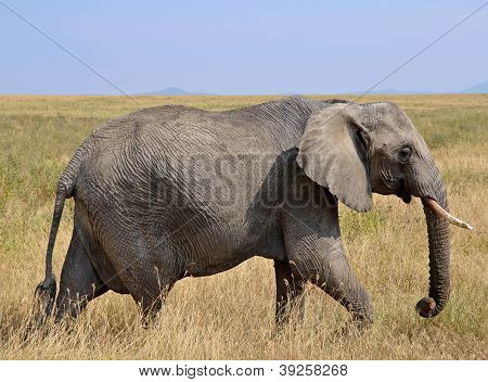 Female Elephant Walking In Dry Grass