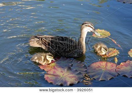 Mother Duck And 2 Babies