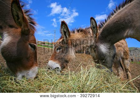 Three Donkey In A Field In Sunny Day, Animals Series