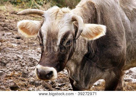 Pasture - Cow