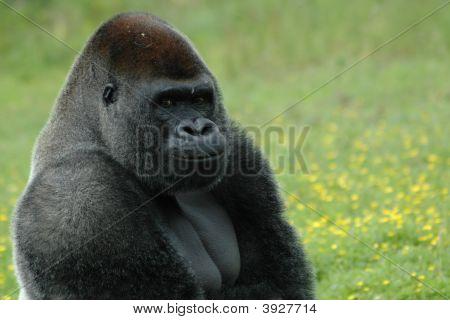 Gorila desconcertado