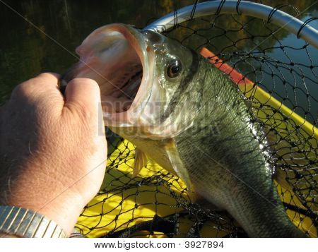 Big Mouth Bass