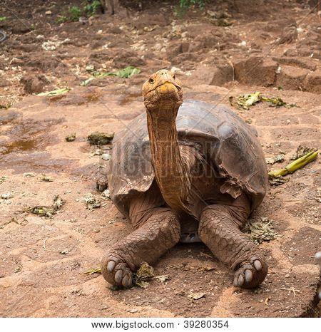 Large Galapagos Giant Tortoise
