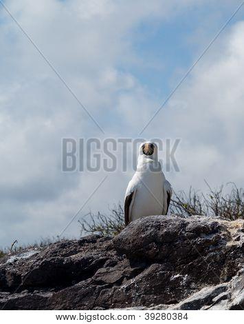 Curious Nazca Booby Seabird On Galapagos