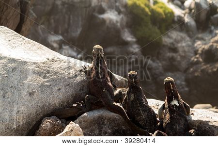 Galapagos Marine Iguana On Volcanic Rocks