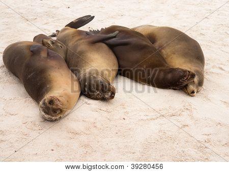 Cuatro Galápagos sellos en una fila en la playa