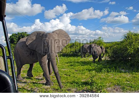 Gigantic African Elephant In Wild Savanna(National Park Chobe, B