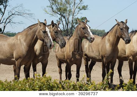 Argentinian Horses, Pampa, Argentina