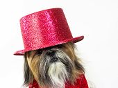 stock photo of glitz  - A Shih Tzu in a glittery top hat has a quizzical look - JPG