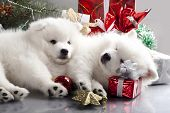 stock photo of christmas puppy  - sleeping white spitz and gifts christmas - JPG