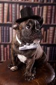 Cute french bulldog puppy sitting in library