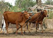 Domestic Cows poster