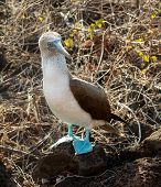 picture of blue footed booby  - Blue footed booby is seabird famous for living on Galapagos Islands National Park in Ecuador - JPG