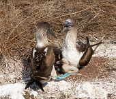 image of blue footed booby  - Blue footed booby is seabird with baby chick living on Galapagos Islands National Park in Ecuador - JPG