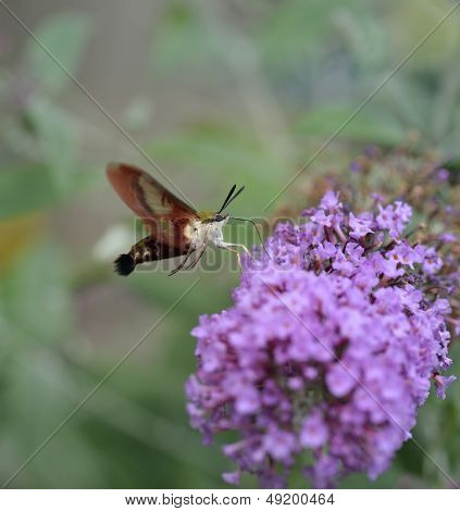 Mariposa de Esfinge de libélula comum ou traça de beija-flor