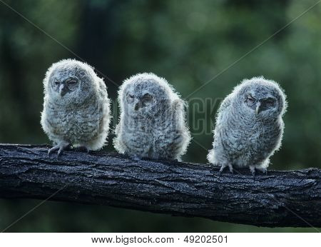 Three owlets on bough