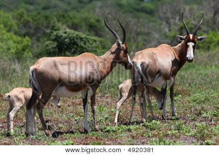 Bontebok Antelope Mothers And Babies