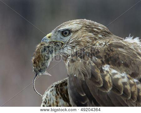 Goshawk holding mouse in beak close-up