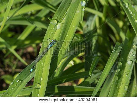 Dragonflies (damselflies)
