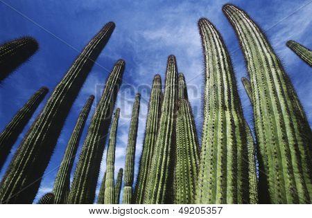 USA Arizona Organ Pipe Cactus against sky low angle view