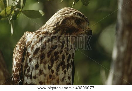 Close-up de Merlin (Falco columbarius)