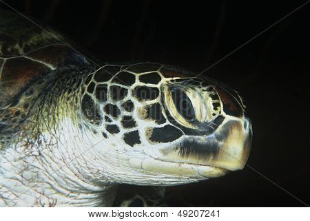Green turtle close-up of head