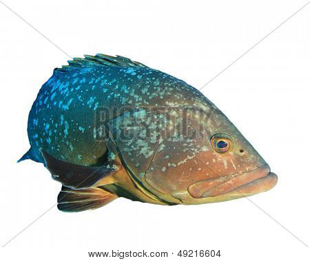 Dusky Grouper fish isolated on white background