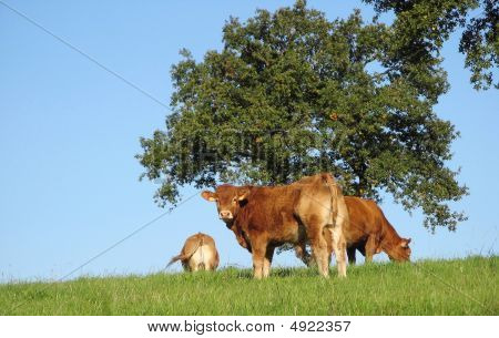 Limousin Calf On The Hill