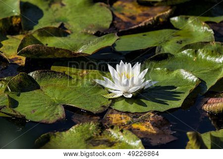 Water Lily In The Water.